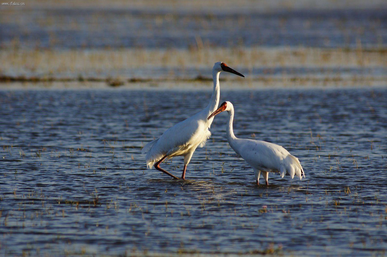白鹤白鹤鸟鸟图片